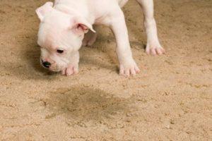 så får du bort fläckar på mattan från ditt husdjur